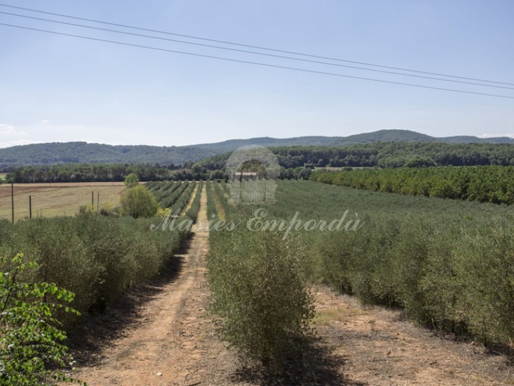 Camps d'oliveres de la propietat al costat de la masia